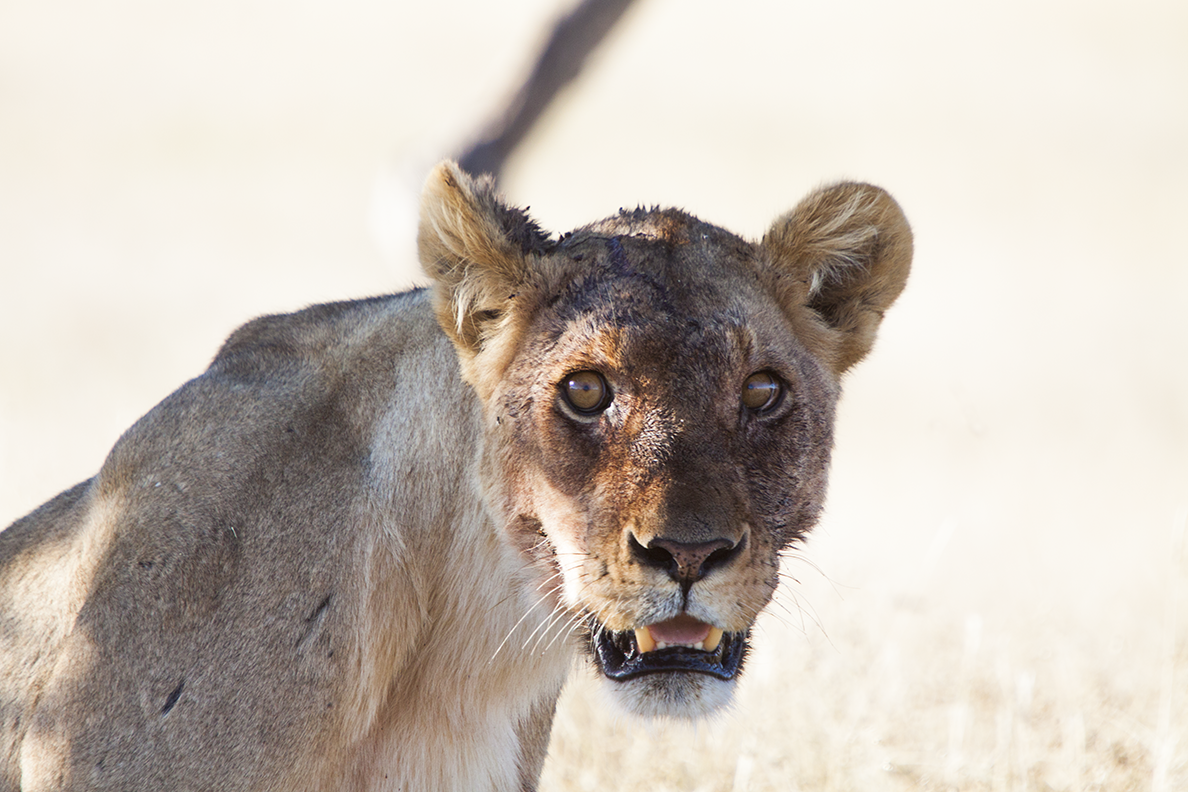 Lioness Front View Image Gallery lioness ...